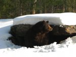 Photo by Donna Andrews Managing Director/Bear Curator North American Bear Center