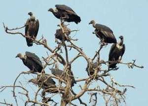 vultures-2